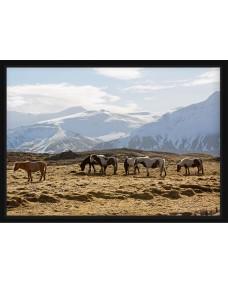 POSTER - Vilda hästar i flock